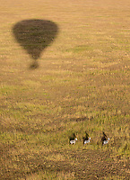 Plains zebras photographed from our hot air balloon in the Serengeti.