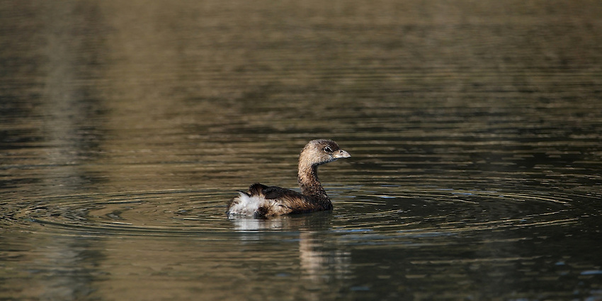 Although it swims like a duck, the Pied-billed Grebe does not have webbed feet. Instead of having a webbing connecting all the toes, each toe has lobes extending out on the sides that provide extra surface area for paddling.