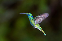 Sparkling violetear (Kolibri coruscans), flying, rainforest, cloud forest, northern Ecuador, Ecuador, South America
