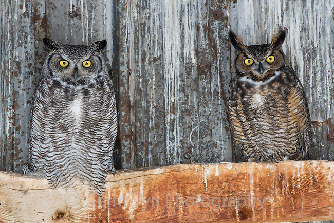 Mated pair of Great Horned Owls (Bubo virginianus) roosting in an abandoned barn. Idaho, USA. February.