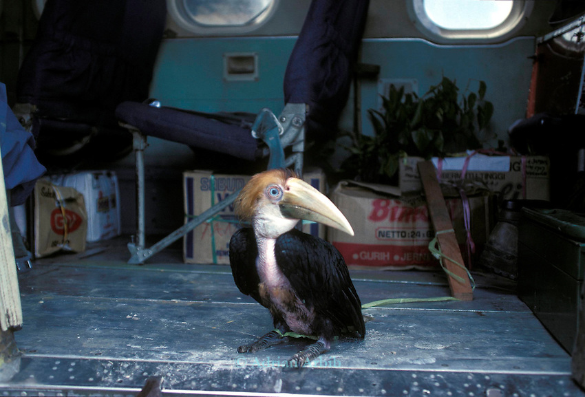 A Giant Hornbill being transported out of the forests of West  Papua New Guinea back  to Jakarta, Indonesia to be  fed into the  trade for rare birds around the world.