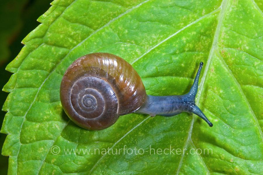 Große Glanzschnecke, Oxychilus draparnaudi, dark bodied glass snail, Glanzschnecken, Oxychilidae, Glass Snails