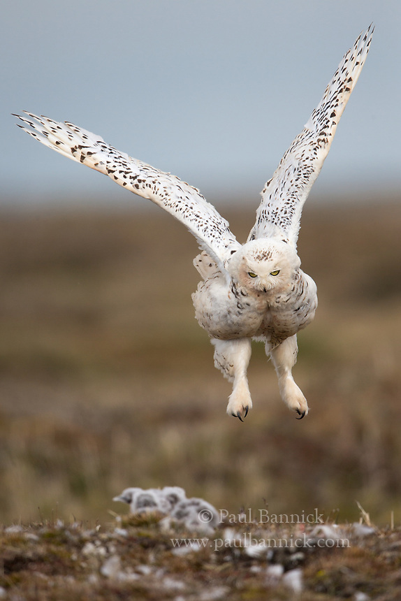 A female Snowy Owl lands after confronting a Pomerine Jaeger.