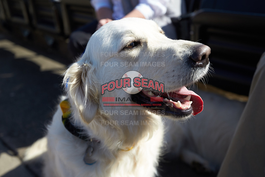 """It was """"Bark in the Park"""" day at David F. Couch Ballpark for the ACC baseball game between the Louisville Cardinals and the Wake Forest Demon Deacons on March 17, 2018 in  Winston-Salem, North Carolina.  The Cardinals defeated the Demon Deacons 11-6.  (Brian Westerholt/Four Seam Images)"""