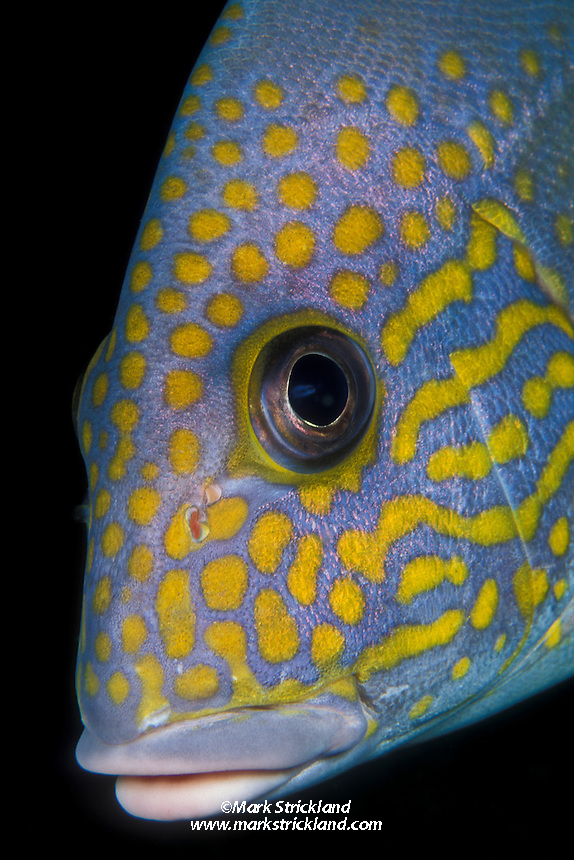 Portrait of a Silver Sweetlips, Diagramma pictum. Similan Islands Marine National Park, Thailand, Andaman Sea