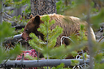Cinnamon black bear feeding on carcass. Yellowstone National Park, Wyoming.