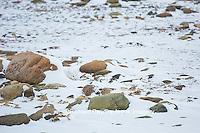 01863-01615 Arctic Fox (Alopex lagopus) in winter, Churchill Wildlife Management Area, Churchill, MB