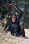 Youngster Flirt pouts and gestures her frustration over being weaned.<br /> Female Eastern Chimpanzee (Pan troglodytes schweinfurthii)<br /> Gombe National Park, Tanzania, East Africa