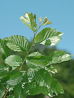 Smooth-leaved Elm - Ulmus carpinifolia