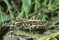 Mottled Grasshoper - Myrmeleotettix maculatus