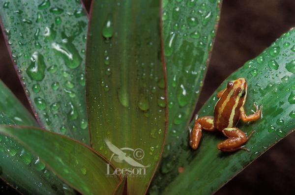 PHANTASMAL POISON ARROW FROG..aka TRI-COLORED POISON DART FROG..Native to SW Ecuador & adjacent Peru..Captive. (Epipedobates tricolor).