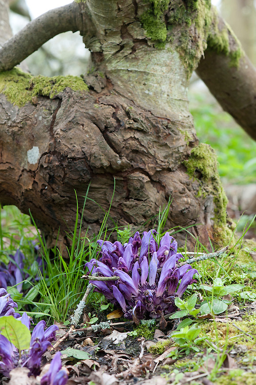 Purple toothwort (Lathraea clandestina), mid April. A root-parasitic plant that needs no chlorophyll and therefore has no leaves. Usually found beneath willows, alders and poplars.