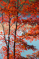 Sugar maple tree on Day's Lake<br /> Dorset<br /> Ontario<br /> Canada