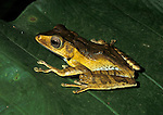 Frog, Sp. unknown, Sabah Borneo, on leaf.Borneo....