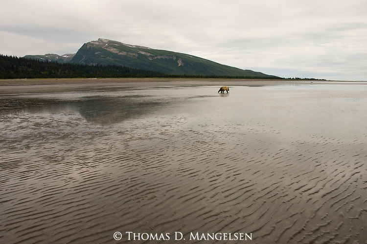 Brown bear clamming on the tidal flats of Cook Inlet in Lake Clark National Park, Alaska.