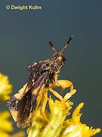 AM01-614z  Ambush Bug, male on goldenrod flowers, Phymata americana