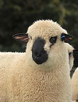 John Eveson, Dinkling Green Farm, Whitewell, Clitheroe, Lancashire. BB7 3BN.01995 61280. 07973 482705.j.r.eveson@btinternet.com.www.johneveson.com.Hampshire Down sheep....John Eveson, Dinkling Green Farm, Whitewell, Clitheroe, Lancashire. BB7 3BN.01995 61280. 07973 482705.j.r.eveson@btinternet.com.www.johneveson.com