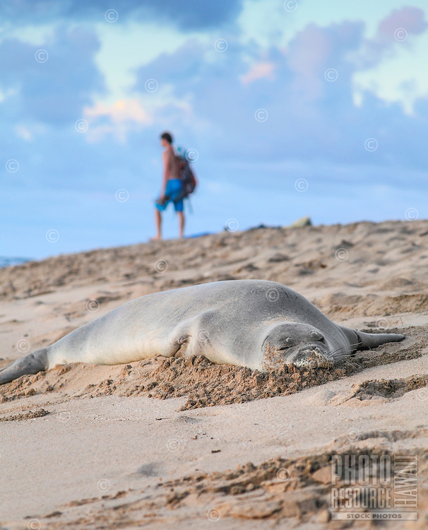 A man gives a napping Hawaiian monk seal a wide berth at Ke'e Beach, Ha'ena State Park, northern Kaua'i.