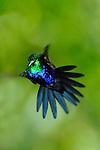 Colibrí Ventrivioleta / colibríes de Panamá.<br /> <br /> Violet-bellied Hummingbird / hummingbirds of Panama.<br /> <br /> Damophilia julie.<br /> <br /> EDICIÓN LIMITADA / LIMITED EDITION (25)