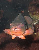 Seehase, See-Hase, Lump, Lumpfisch,  Lump-Fisch, Männchen, Cyclopterus lumpus, lumpsucker, lumpfish, hen-fish, henfish, sea hen