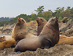Steller Sea Lions Jpgs