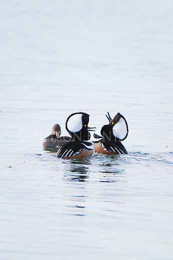 Merganser Drakes expanding their crests in a mating display at a wildlife refuge in western Montana