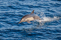 long-beaked common dolphin, Delphinus capensis, leaping, jumping, El Gato Bay, Baja California Sur, Mexico, Pacific Ocean