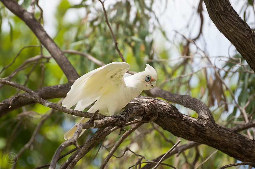 A profile view of a little corella perching in a gum tree in South Australia's Riverland.