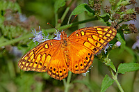 341940002 a wild varigated fritillary butterfly euptoieta claudia at  the naba site in mission hidalgo county lower rio grande valley texas united states