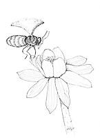 Honingbij bezoekt Winterakoniet (Eranthis hyemalis)