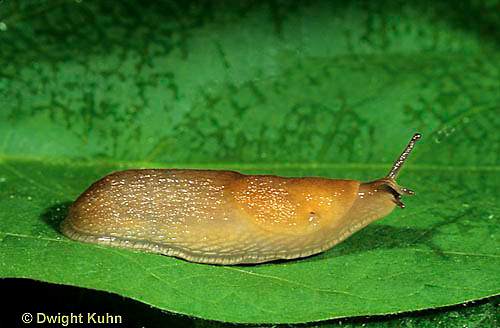 1Y12-079z   Slug - on leaf