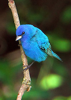 Adult male indigo bunting