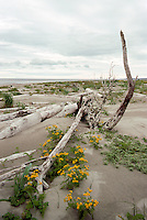 Queen Charlotte Islands (Haida Gwaii), Northern BC, British Columbia, Canada - Driftwood and Wildflowers on Sandy North Beach along McIntyre Bay, Naikoon Provincial Park, Graham Island