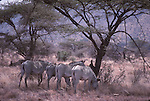 Grevy's zebras in shade at Samburu national park