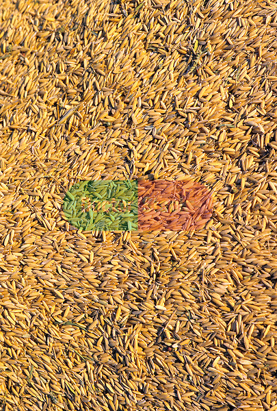rice hulls at harvest time