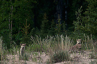 694922002 three wild very young gray wolf pups canis lupus an endangered species stare out from tall grasses on sand eskers near great slave lake in the northwest territories of canada