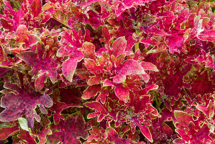 Solenostemon (Coleus) 'Jupiter', annual foliage plant with ornamental leaf form and colors in red and yellow