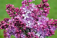 Lavendar Lady Lilac. Hulda Klager Lilac Gardens, Woodland, Washington