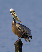 Brown Pelican, Rockport, TX
