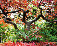 Red leaves on ground under Japanese Maple with Fall colors with ferns in front at the Portland Japanese Garden
