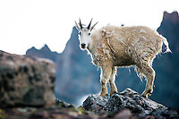 A kid mountain goat stands on a ridge below The Spires in the Absaroka-Beartooth Wilderness.