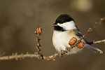 Black-capped Chickadee (Poecile atricapillus) feeding on cone seed, Sax-Zim Bog, northern Minnesota