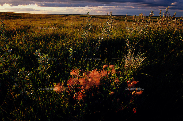 Afternoon sun breaks through storm clouds and illuminate prairie smoke and other native flowers bloom on the Davis Ranch owned by Nature Conservancy.