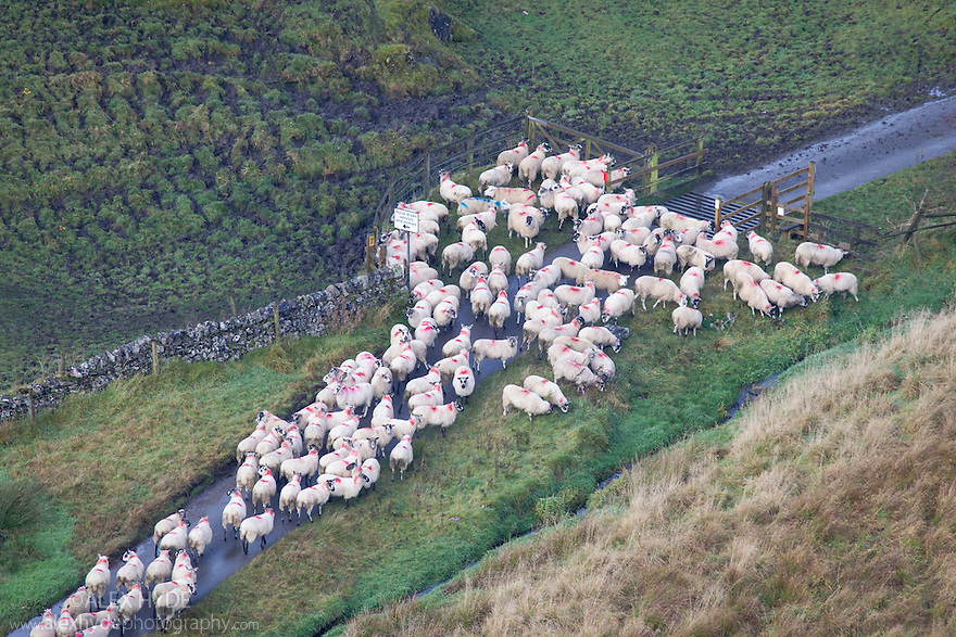 Sheep unable to cross cattle grid, Staffordshire, Peak District National Park, UK.