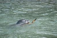 Hawaiian monk seal, Neomonachus schauinslandi ( Critically Endangered ), 2.5 year old male playing with green sea turtle or honu, Chelonia mydas, Pu'uhonua o Honaunau ( City of Refuge ) National Historical Park, Kona, Big Island, Hawaii, USA, Pacific Ocean