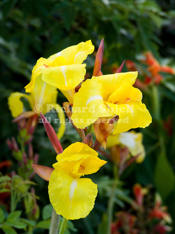 FLOWERS OF CANNA STRIPED BEAUTY, GARDEN CANNA