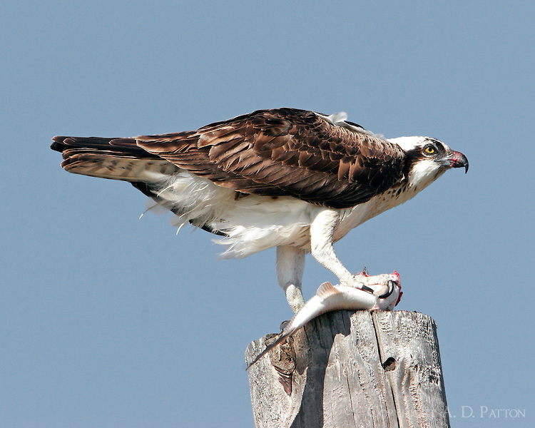 Osprey eating fish on power pole