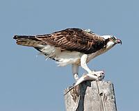Osprey eating fish on power pole