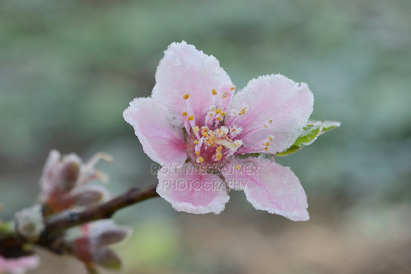 Peach tree (Prunus persica), frost covered blossom, Texas, USA