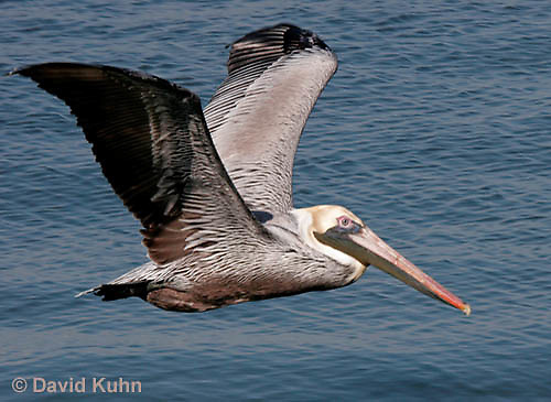 0307-0823  Flying Brown Pelican, Pelecanus occidentalis  © David Kuhn/Dwight Kuhn Photography.